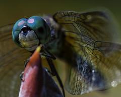 DragonFly_SAF9589-2 (sara97) Tags: copyright2016saraannefinke dragonfly flyinginsect insect missouri mosquitohawk nature odonata outdoors photobysaraannefinke predator saintlouis towergrovepark urbanpark