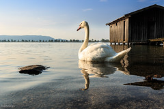 evening sun (lichtauf35) Tags: bluesky evening latesun reflection swan sl1 kochelsee bavaria germany lightroom mood lichtauf35