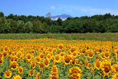 - Mt.Iwate & Sunflower field (shig.) Tags: sunflower flower flowers plant plants nature natural yellow green canon eos 70d     outdoor field bright mountain mtiwate
