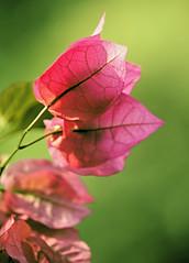Closeup Pink Leaves (sphaisell) Tags: leaves nature india tamilnadu dindigul lakeside natural plant flora macro