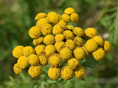 Tansy (mausboam) Tags: week33 wildflowerhour tansy tanacetumvulgare photo:ref=0646
