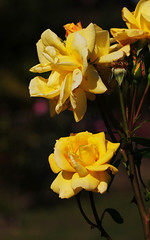 DSC_5568 (PeaTJay) Tags: nikond300s sigma reading lowerearley berkshire macro micro closeups gardens outdoors nature flora fauna plants flowers rose roses rosebuds