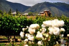 River Road (Kristen Fletcher Photography) Tags: roses vineyard vines riverroad salinasvalley winery