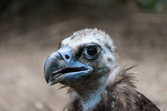 Derp Vulture (bellemarematt) Tags: bronx zoo wildlife animal bird avian cinereous vulture aegypius monachus blue