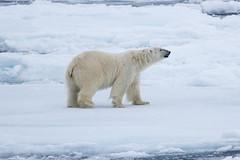 Polar Bear in the pack ice S24A2302 (grebberg) Tags: polarbear ursusmaritimus bear ursus environment ice seaice iceedge packice arcticocean svalbard