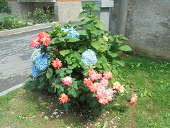 028 (en-ri) Tags: ortensie azzurro rose cespuglio sony sonysti erba grass