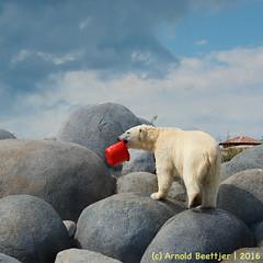 ijsberen_10 (Arnold Beettjer) Tags: wildlands emmen dierenpark dierentuin dierenparkemmen ijsbeer ijsberen polarbear