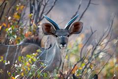 DSC_3584.JPG (manuel.schellenberg) Tags: namibia animal etosha nationalpark kudu