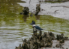 Kingfisher on Oyster (Gabriel FW Koch (fb.me/FWKochPhotography on FB)) Tags: rain drops splash outdoor animal bird mollusks oysters water marsh mud blue kingfisher outside nature wild wildlife eos dof canon lseries shells details scenic