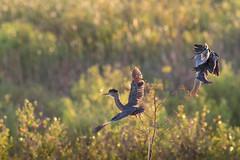 Garcita Azulada - Butorides striata - Green-backed Heron (Jorge Schlemmer) Tags: garcitaazulada butoridesstriata miramar crdoba argentina birdwatcher greenbackedheron