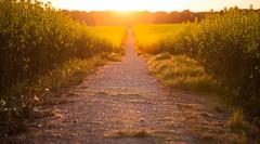 A Walk Towards the Sun (Peter Bros Nissen) Tags: 2016 farum maj raps rape rapeseed field mark canon canon5d 5d canonef24105mmlisusm lightroom