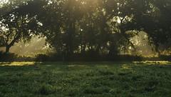 Morgens auf ener Kuhweide; Bergenhusen, Stapelholm (5) (Chironius) Tags: stapelholm bergenhusen schleswigholstein deutschland germany allemagne alemania germania    ogie pomie szlezwigholsztyn niemcy pomienie gegenlicht morgendmmerung sonnenaufgang morgengrauen  morgen morning dawn sunrise matin aube mattina alba ochtend dageraad zonsopgang   amanecer morgens dmmerung nebel fog brouillard niebla baum bume tree trees arbre  rbol arbres  rboles albero  rvore aa boom trd