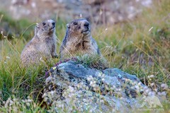 Alpine Marmots (fascinationwildlife) Tags: animal mammal wild wildlife nature national natur hohe tauern park murmeltier alps alpen alpine marmot cute juvenile austria sterreich summer rock mountain grosglockner carinthia