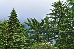 Juneau Trees (Pejasar) Tags: juneau alaska green