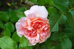 Seele, einstmals warst du selig (amras_de) Tags: rose rosen rua rosa rue rozo roos arrosa ruusut rs rzsa roe rozes rozen roser rza trandafir vrtnica rosslktet gl blte blume flor cvijet kvet blomst flower floro is lore kukka fleur blth virg blm fiore flos iedas zieds bloem blome kwiat floare ciuri flouer cvet blomma iek