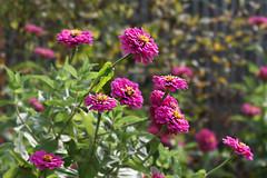 zinnia (Lyubov) Tags: zinnia flowers summer garden nature 2016