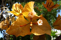 Bougainvillea... (Anni - with camera) Tags: bougainvillea yellow flowersbywanderingabout