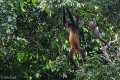 Geoffroy's spider monkey (Ateles geoffroyi) (FritzF2010) Tags: panama emberaquera embera indigena indigenas spidermonkey atelesgeoffroyi