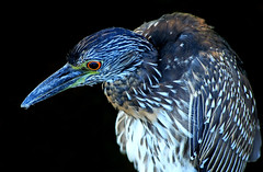 Night heron (zgrial) Tags: wildlife heron nightheron closeup blackbackground stuart florida usa summer zgrial immatureyellowcrownednightheron