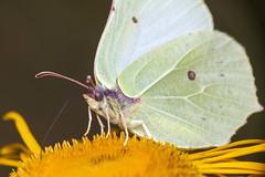 Long Straw - _TNY_9804 (In Explore 26/9) (Calle Sderberg) Tags: macro canon canon5dmkii canonef100mmf28usmmacro canoneos5dmarkii raynox dcr250 meike mk300 flash glassdiffusor insect butterfly fjril citronfjril rhamni brimstonebutterfly giantoxeyedaisy telekia speciosa strlga yellow papilionoidea pieridae fur gonepteryx explore