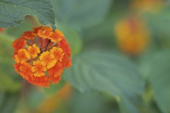 Solipsism (Cozla) Tags: flowers flower orange colors one depthoffield dof closeup macro minimal minimalism nature simple
