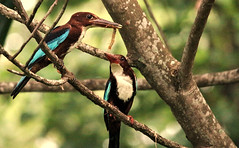 Keralan Kingfishers (sphaisell) Tags: india kollam kerala backwaters ashtamudi wildlife nature naturalworld bird birds birdlife kingfisher kingfishers centipede insect sunrise dawn blue brown action pjaro ave summer family feeding catch food martnpescador