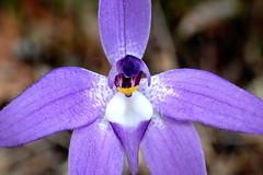 WAX-LIP ORCHID up close - Glossodia major (elliott.lani) Tags: orchid orchids waxliporchid glossodiamajor tasmaniannativeorchid terrestrial terrestrialorchids tasmanianflora flora