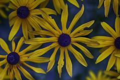 20160921_Rudbeckia (Damien Walmsley) Tags: rudbeckia yellow flowers summer end