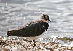 Lapwing on the Shore (Nigel B2010) Tags: lapwing bird nature wildlife