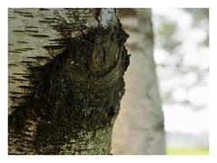 "Birch Sensation 3 • <a style=""font-size:0.8em;"" href=""http://www.flickr.com/photos/134137971@N02/29902886225/"" target=""_blank"">View on Flickr</a>"
