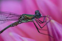 Parc Floral de Vincennes 28.08.12 4396 (MUMU.09) Tags: insectos macro nature insect photo foto dragonfly bild makro libelle insekt liblula  insetto insecte libellule imagem   libellula obraz  owad   hmyz     skordr waka      trollslnda rovar odonate   zdjcie  vka kerengende    feithid  omh mdudu