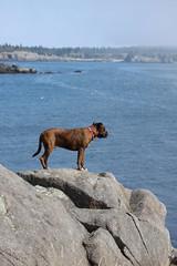 Ralph on the rocks 35/52/2012 (Hodgey) Tags: ocean dogs rocks bayoffundy ralph mainecoast wate boxerx