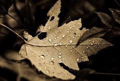 Fall Drops,Ancient Light (Orbmiser) Tags: leaf raindrops nikonfacebook ancientlightpreset