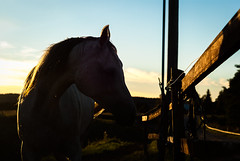 Day 240 - Sunset Mare (dennisdasfoto) Tags: sunset horse fence project mare sonnenuntergang dof sweden bokeh schweden depthoffield sto photoaday sverige 365 zaun pferd goldenhour pictureaday loh solnedgng goldenlight hst staket 366 kristinehamn stute project365 365days 3651 project3651 project366 project365240 dt50mmf18sam project365082712 project36527aug12