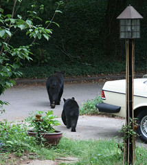 Visitors 16 (anoldent) Tags: garden asheville bears
