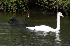 Black and white (billnbenj) Tags: swan reservoir cumbria blackswan barrow muteswan redbeak redbill ormsgillreservoir