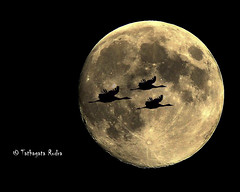 Lucky to get the shot (Tathagata Rudra) Tags: moon bird night nikond5000