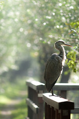 Grey Heron (joyrex) Tags: mist green bird heron groen nederland thenetherlands reiger dauw rhoon greyheron grienden blauwereiger albrandswaard rhoonsegrienden