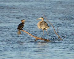 Great blue heron and cormorant [5410] (cl.lin) Tags: bird nature birds nikon midwest dam wildlife birding sigma iowa mississippiriver cormorant greatblueheron lockanddam14 d7000 ld14
