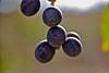 "molecole di ... vino ("" paolo ammannati "") Tags: macro me photographer estate natura io tuscany toscana uva colori grappolo valdichiana paoloammannati acini effettinaturali"