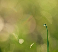 Morning Dew~Explored! (j man ) Tags: life lighting morning friends light macro art texture nature floral colors beautiful grass closeup lens photography rainbow flickr dof bokeh pov background sony details favorites 11 drop depthoffield explore pointofview sp ii dew views di if droplet f2 minimalism tamron comments ld jman a300 af60mm mygearandme flickrbronzetrophygroup