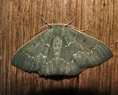 2012-07-10 12-52-41 - DSC01167 (Hesperia2007) Tags: green fauna bug insect moth lepidoptera papuanewguinea tropics invertebrate entomology oceania