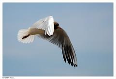 Homage To Carolyne (peterphotographic) Tags: uk england bird fly nikon gull norfolk flight wing d200 blackheadedgull brancasterstaithe dsc0563edwm