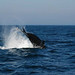 Humpback Whale tail slapping (Richard Bashford)