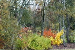 Tryggvagarur (Fjola Dogg) Tags: autumn tree fall nature yellow canon iceland islandia fallcolors haust sland nttra tr 2012 selfoss gulur gult 50d canon50d fjoladogg tryggvagarur fjladgg