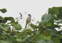 Long-tailed Shrike (lanius schach) (mrm27) Tags: hongkong shrike lanius laniusschach longtailedshrike