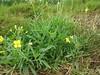 wild rocket (Diplotaxis tenuifolia)