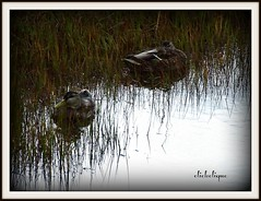 Hiding in the grass (clickclique) Tags: water grass ducks waterfowl hiding beresford travelpilgrems