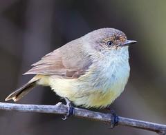 Ball of fluff (Geoff Main) Tags: bird australia act canonef100400f4556lisusm buffrumpedthornbill canon7d tharwasandwash