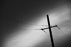 communication lines (StephenCairns) Tags: blackandwhite bw birds silhouette japan contrast canon wire  nocrop sparrows  telephonepole gifu  telephonewires motosu   stephencairns  canon5dmarkii   27sparrowsiforgottheoneontopofthepole 26sparrows oneshouldnotonlyphotographthingsforwhattheyarebutforwhatelsetheyareminorwhite